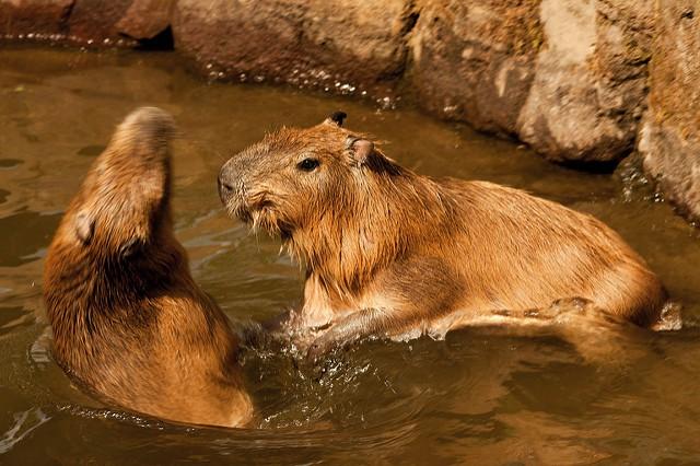 Sitama Children's Zoo,水の中でBattleが繰り広げられました。やっつけた瞬間wこの後、仕返しされるもう一匹(笑